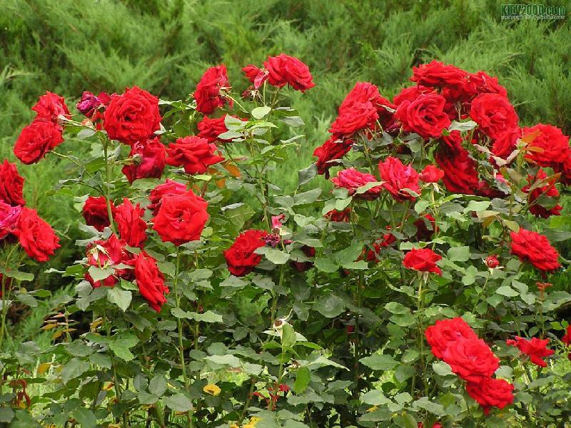 """Результат пошуку зображень за запитом """"троянди кущі"""""""